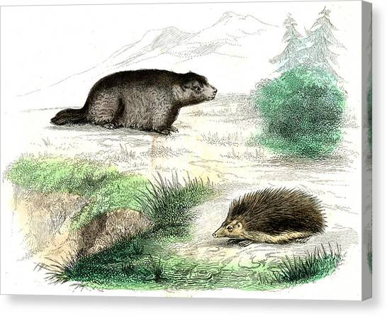 Marmot And Hedgehog Canvas Print by Collection Abecasis