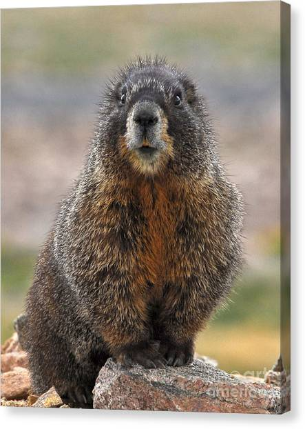 Canvas Print featuring the photograph Marmot by Mae Wertz