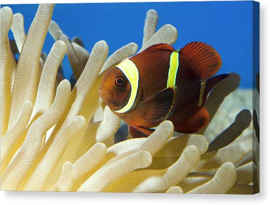 Clownfish Canvas Print - Maroon Clownfish by Nigel Downer