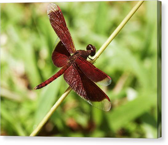 Maroon Dragonfly Canvas Print
