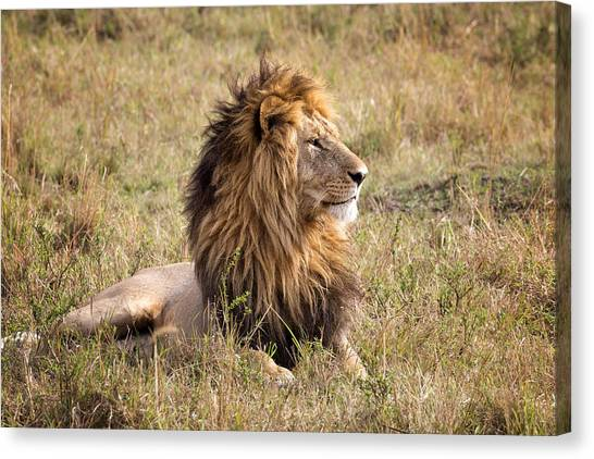 Marsh Pride Male Morani Canvas Print