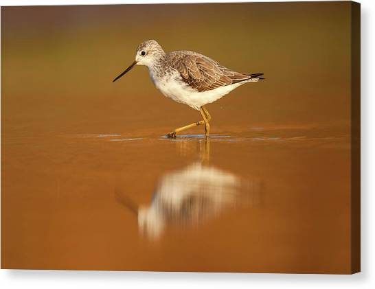Marsh Sandpiper (tringa Stagnatilis) Canvas Print by Photostock-israel