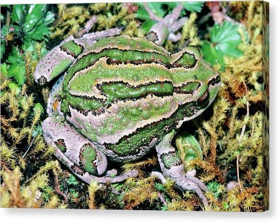 Marsupial Frog Canvas Print by Dr Morley Read/science Photo Library