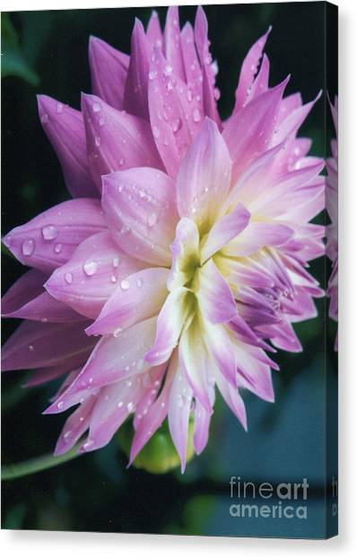 Mary Ellen's Morning Dew Dahlia Canvas Print