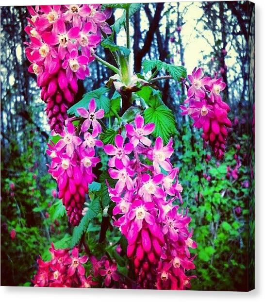 Hummingbirds Canvas Print - #maryyoungpark #currants #flowers by M R M