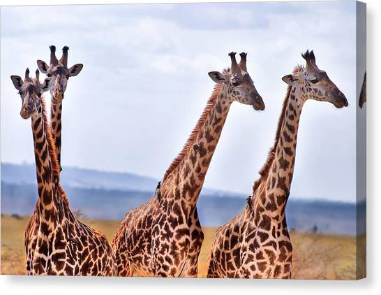 Masai Giraffe Canvas Print