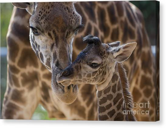 Canvas Print featuring the photograph Masai Giraffe And Calf by San Diego Zoo