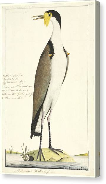 Lapwing Canvas Print - Masked Lapwing, 18th Century by Natural History Museum, London