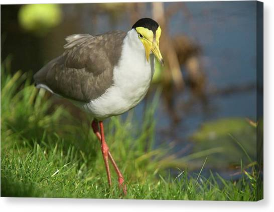 Lapwing Canvas Print - Masked Lapwing by Bob Gibbons
