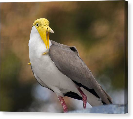 Lapwing Canvas Print - Masked Lapwing by Carolyn Marshall