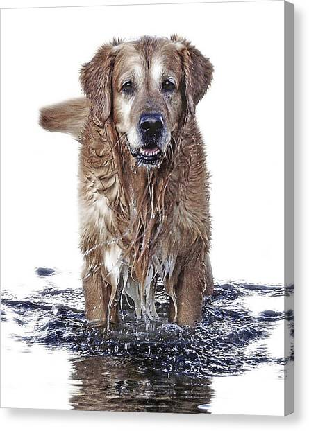Golden Retrievers Canvas Print - Master Of Wet Elements by Joachim G Pinkawa