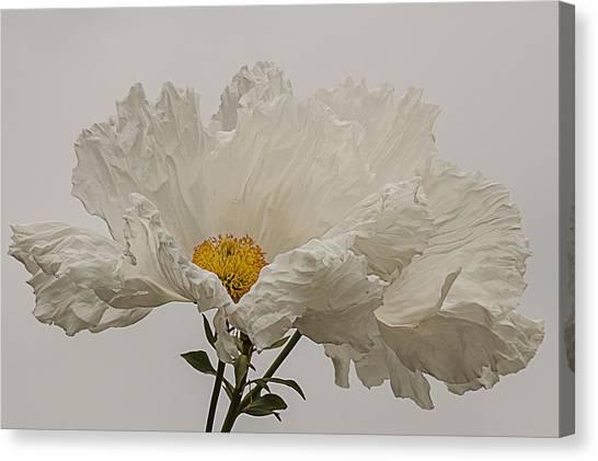 Matilija Poppy White On White Canvas Print