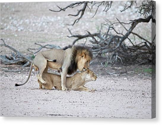 Behaviour Canvas Print - Mating African Lions by Tony Camacho