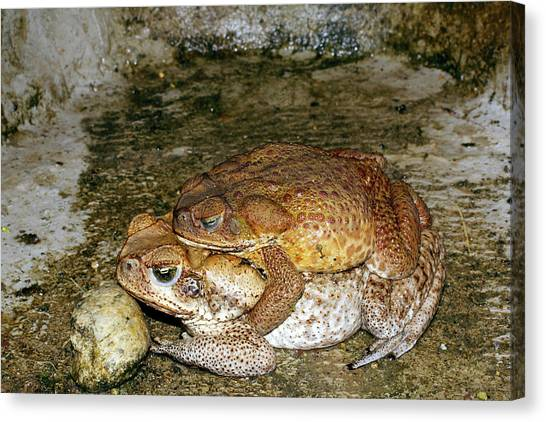 Amazon Rainforest Canvas Print - Mating Cane Toads by Dr Morley Read/science Photo Library