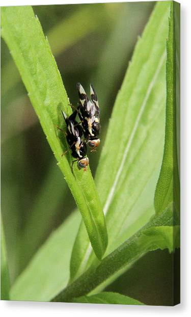 Mating Fruit Flies Canvas Print