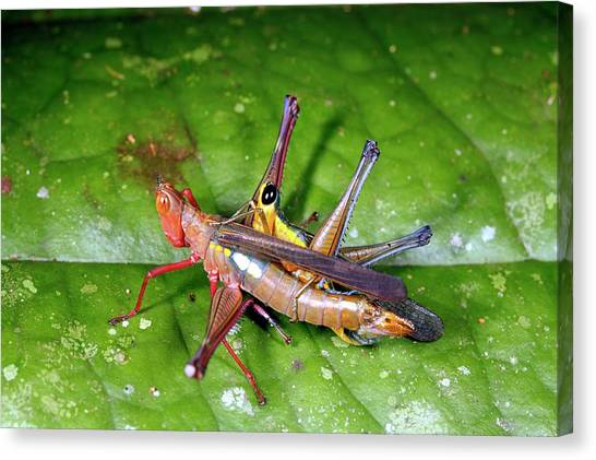 Grasshoppers Canvas Print - Mating Grasshoppers by Dr Morley Read/science Photo Library