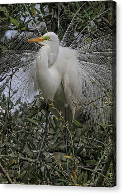 Mating Plumage Canvas Print