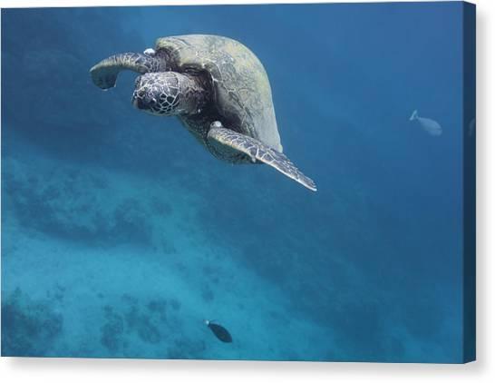 Maui Sea Turtle Approach Canvas Print