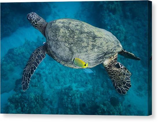Maui Sea Turtle Cleaning Canvas Print