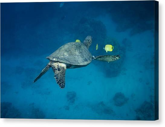 Maui Sea Turtle Cleaning Rear View Canvas Print