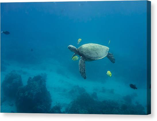 Maui Sea Turtle Cleaning Station Distant Canvas Print