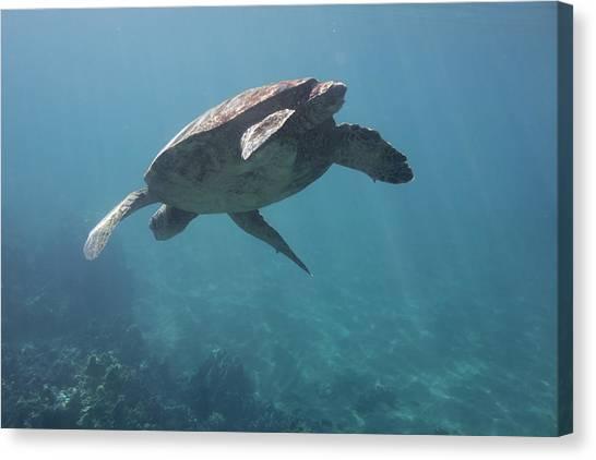 Maui Sea Turtle Dives Canvas Print