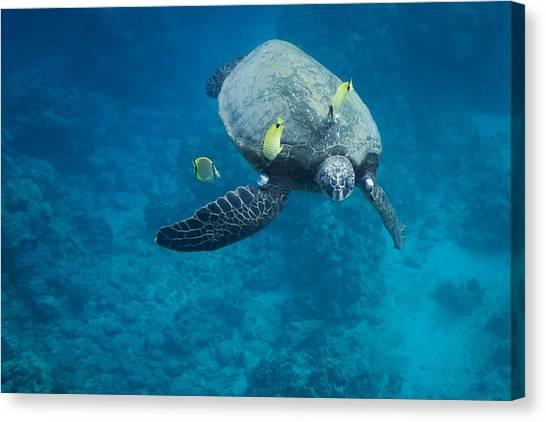 Maui Sea Turtle Faces Us Canvas Print