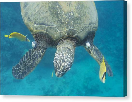 Maui Sea Turtle Gets Cleaned Canvas Print