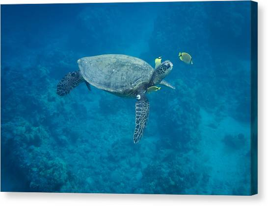 Maui Sea Turtle Head Up Cleaning Canvas Print