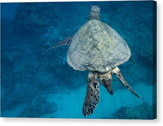 Maui Sea Turtle Passes By Canvas Print