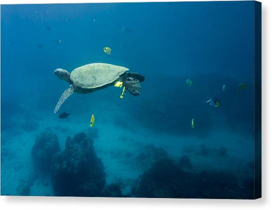 Maui Sea Turtle Suspened At Cleaning Station Canvas Print