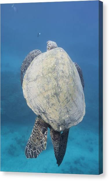 Maui Sea Turtle Vertical Canvas Print
