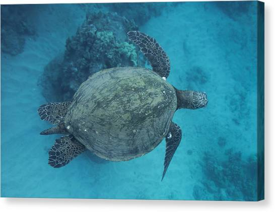 Maui Sea Turtles From Above Canvas Print