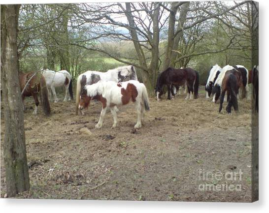 May Hill Ponies 2 Canvas Print