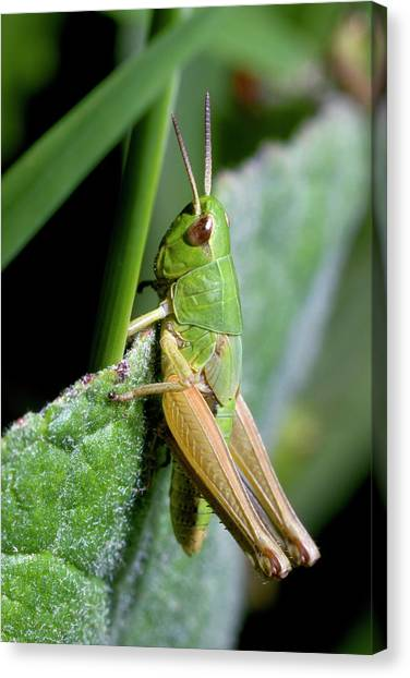 Grasshoppers Canvas Print - Meadow Grasshopper by Sinclair Stammers/science Photo Library