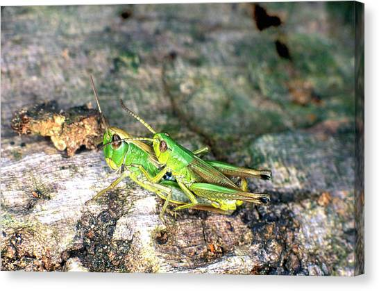 Grasshoppers Canvas Print - Meadow Grasshoppers Mating by Dr Keith Wheeler/science Photo Library