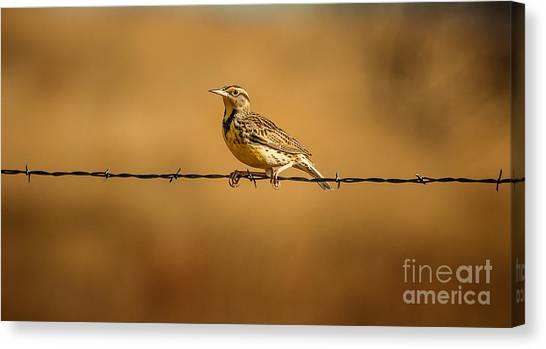 Meadowlarks Canvas Print - Meadowlark And Barbed Wire by Robert Frederick