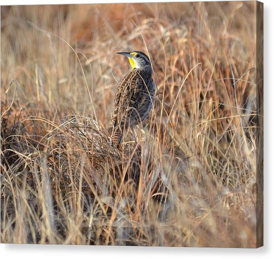 Meadowlark In Grass Canvas Print