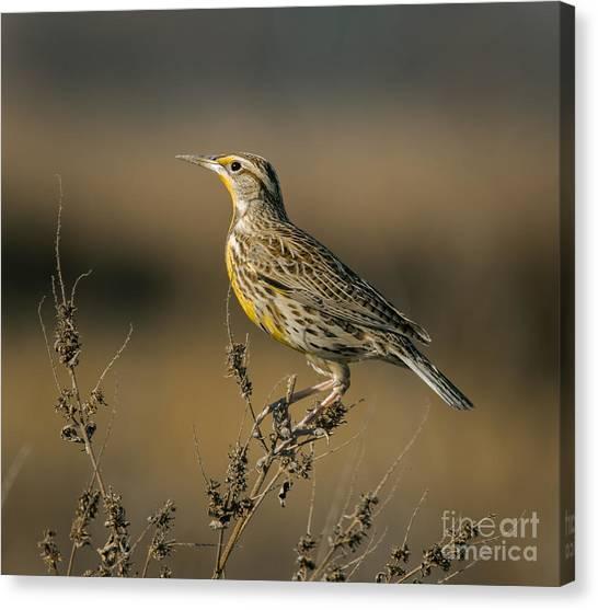 Meadowlarks Canvas Print - Meadowlark On Weed by Robert Frederick
