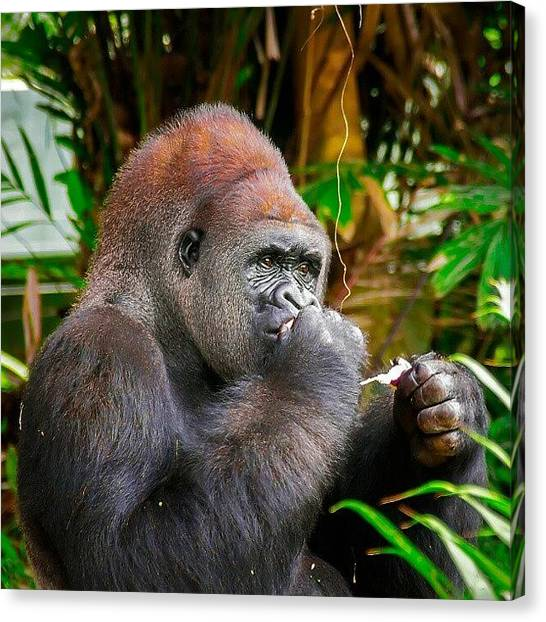 Gorillas Canvas Print - Meal Time by Rahman Galela
