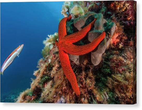 Mediterranean Red Sea Star On Reef Canvas Print by Alexis Rosenfeld/science Photo Library