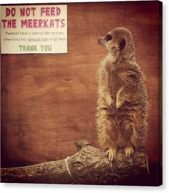 Meerkats Canvas Print - #meerkat #acornfarm #liverpool by Craig Kemp