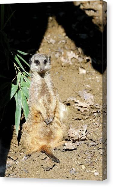 Meerkats Canvas Print - Meerkat by Heiti Paves