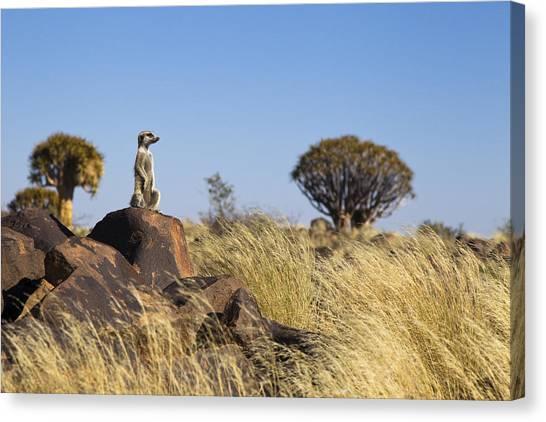 Meerkats Canvas Print - Meerkat In Quiver Tree Grassland by Vincent Grafhorst