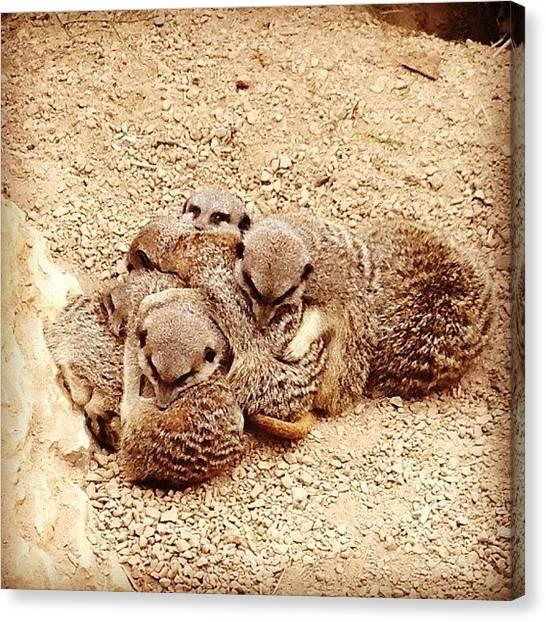 Meerkats Canvas Print - #meerkat #meerkats #meercat #meetcats by Lizzie Leslie