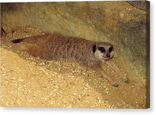 Meerkats Canvas Print - Meerkat Resting by Nigel Downer