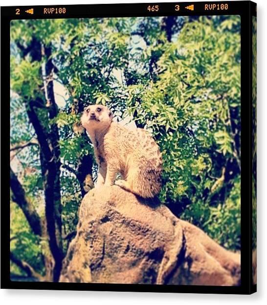 Meerkats Canvas Print - #meerkat #simples #comparethemeerkat by Louisa York