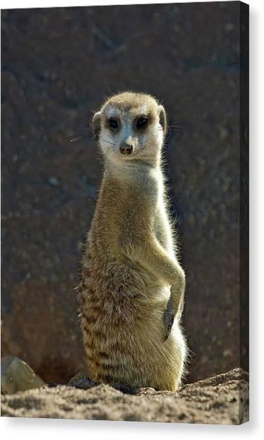 Meerkats Canvas Print - Meerkat by Tony Camacho/science Photo Library