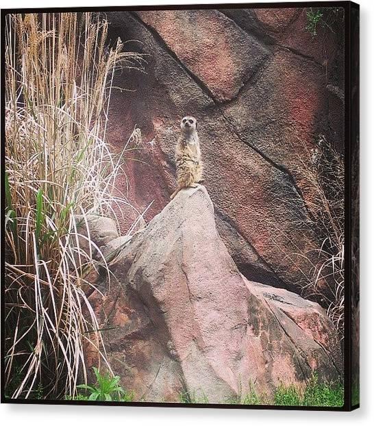 Meerkats Canvas Print - #meerkat #zoo #norfolk #norfolkzoo by Amber Edsall