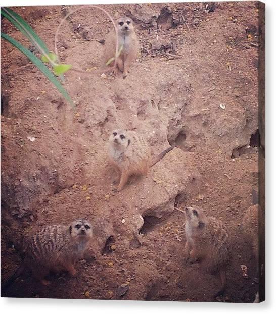 Meerkats Canvas Print - #meerkats #buschgardens by Beth B